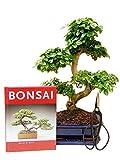Anfänger Bonsai-Set Liguster, ca. 30-35cm, 4...