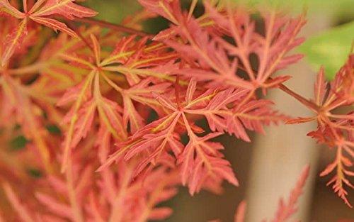 Orange Japanese Maple - Orangeola Japanese Maple 2 - Year Live Plant