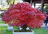 Elitely 20 Bonsai/Pack Real Ghost Blue Maple Tree Bonsai Bonsai Acer Palmatum Atropurpureum, Bonsai Seminare tutto l'anno: Borgogna