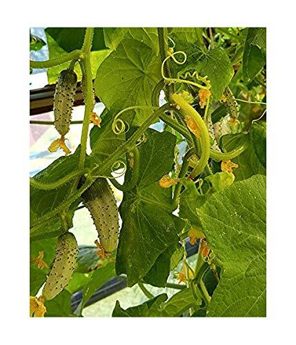 Italienische Minigurke - Gurke - sehr ertragreich - 10 Samen