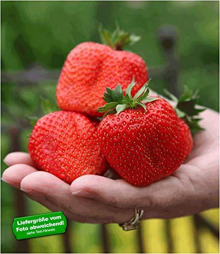 BALDUR-Garten Erdbeere 'Sweet Mary XXL®', 3 Pflanzen Fragaria XXL Früchte und XXL Aroma Riesenerdbeeren
