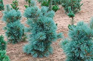 CESARINI BLUE LIMBER PINE - THE BLUEST SELECTION OF PINUS FLEXILIS! 2 - YEAR PLANT