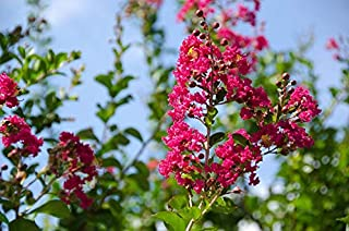 Handmade 20 Seeds -Crepe Myrtle- Fuchsia Blooms Small Tropical Tree -Container Gardening -Bonsai Lagerstroemia Indica Overstock Price