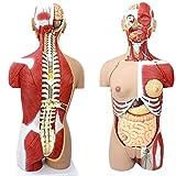 WFLRF Modèle Anatomique Torse Organes Internes Médicaux Anatomiques De Modèle Humain Système D'anatomie Musculaire Détachable Au Dos 29 Pièces 85CM