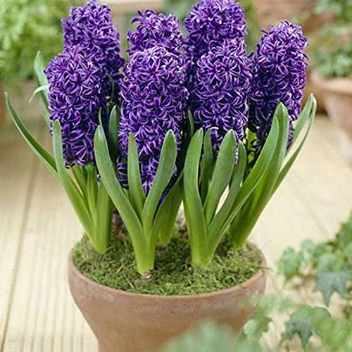 P12cheng Samenpflanze 300 Stück/Beutel Hyazinthe Samen, umweltfreundlich, einfach zu pflanzen, frische Hyazinthe Blumensamen für Zuhause – Lila Hyazinthe Samen