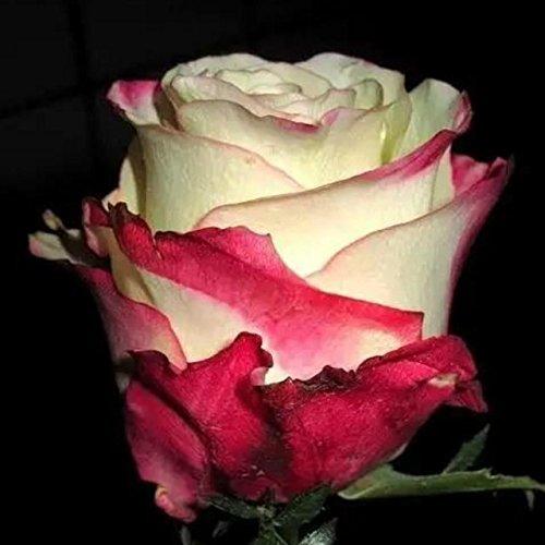 150PCS Rose Flower Seed Hollande Rose Graines amant cadeau arc-RARE 25 exotiques couleurs au choix de bricolage pour les plantes de jardin à la maison 12