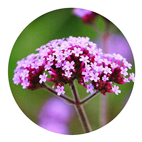 XINDUO Blumensamen für Bienen,Landschaft im Freien Weidenverbene Samen-0,5 kg,Die Blumensamen im Garten Arbeiten