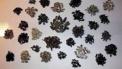Lilie Samen Lilium Gizmo Samen Asiatisch Duftende Orientalische und Orienpet Lilien Große Größe Blühender Hausgarten Bodendecker Samen