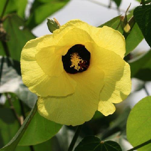 Hibiscus tiliaceus, Seideneibisch, gelbe tolle Farbe, 10 Samen, BIO hu-öko-01