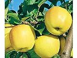 PERAGASHOP 1 planta de manzano Golden Delicious B árbol de fruta madura a octubre