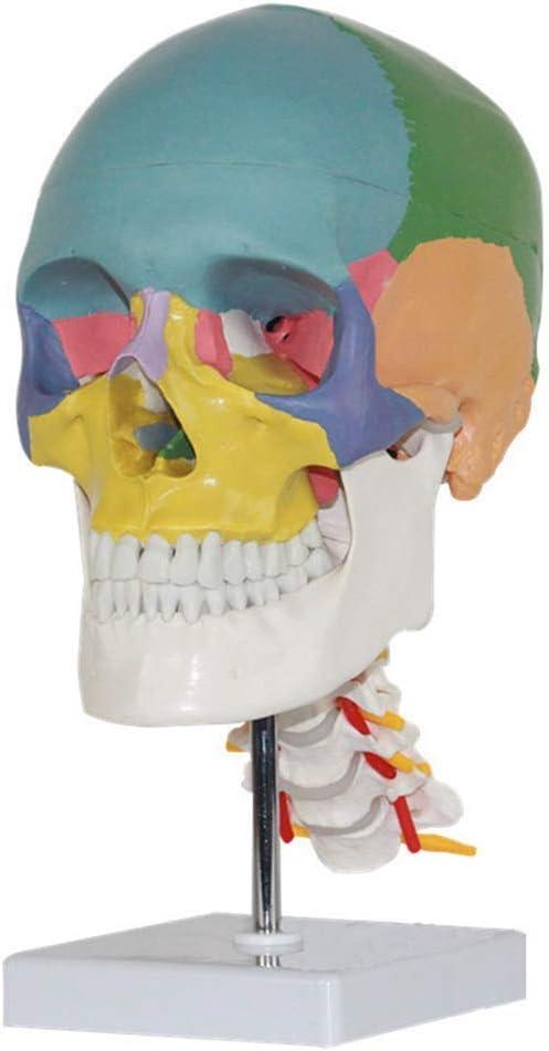 XYSQWZ Skull Skeleton Model for Anatomical Anatomy Popular product Ranking TOP11 Teaching Sku