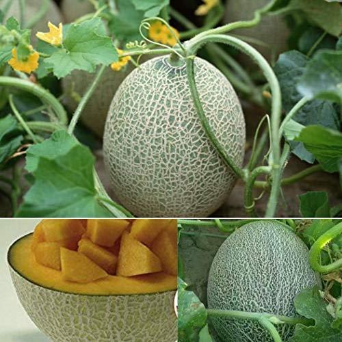 Galiamelone graines MELONS fruité mignon fruits semences