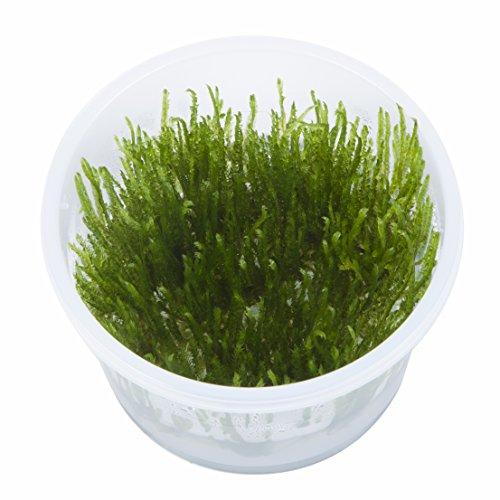 Tropica Taxiphyllum Spiky Moss 1–2-grow Tissue Culture in Vitro Live Plante pour aquarium sans danger pour les crevettes et Escargot gratuit