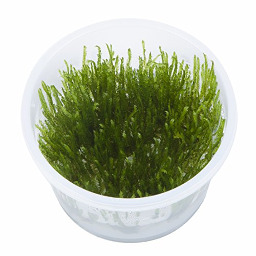 Tropica Taxiphyllum Spiky Moss 1-2-Grow Tissue Culture In Vitro Live Aquarium Plant Shrimp Safe & Snail Free