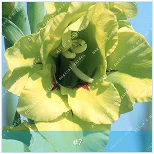 ZLKING 2 ampoules différentes vivaces Gladiolus fleurs d'orchidées Graines Plantes Bonsai Graines Lily Sare Pour jardin Plantation vert