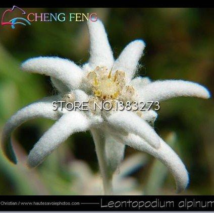 20pcs rouge et blanc Edelweiss (Edelweiss) Graines Fleurs Mini Bonsai plantes pour le jardin Accueil Jardinière Pot Livraison gratuite