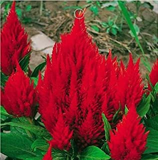50 Celosia Seeds Plumed Kimono Scarlet Seeds