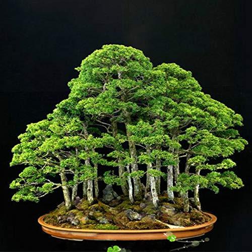 LIANA IRWIN Chinesischer Wacholder, 20 Samen Zierpflanzensamen Freilandbonsai Juniperus chinensis