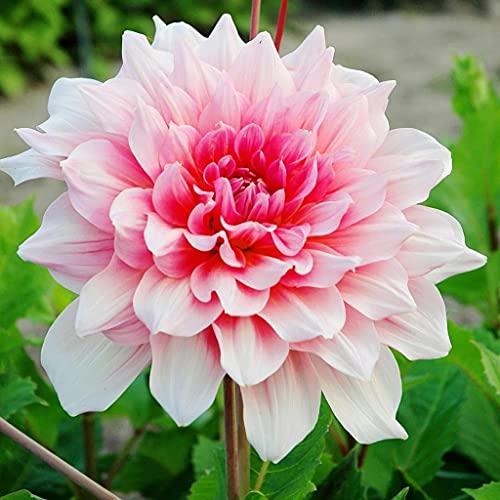 Dalias Bulbos, Varios Nobles Plantados En El patio,Elegante jardín secreto con flores-1,3bulbos