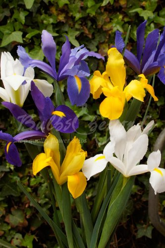 150 Bulbes Iris de Hollande Mélange - Livraison Gratuite
