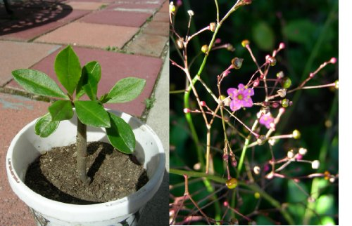 Two Years Talinum Ginseng, Local Ginseng, Jewels of Opar Plant, P8801