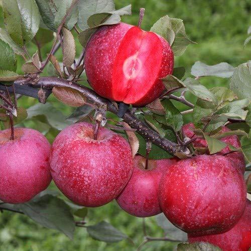 Apfelbaum Malus Baya Marisa