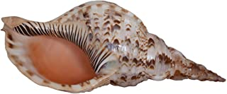 Pacific Triton Extra Large Decorative Shell Seashell 14-15, Table Top Centerpiece