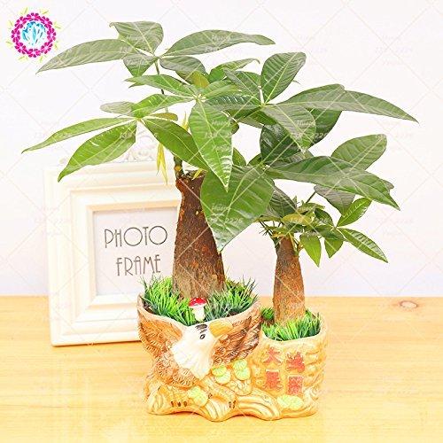 1pcs Pachira Graines Pachira Macrocarpa Money Tree Bonsaï Graines vivaces Plante en pot bricolage pour jardin