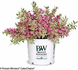 Proven Winners - Weigela florida My Monet (Weigela) Shrub, pink flowers, #3 - Size Container