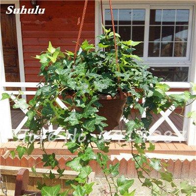 Pearl Chlorophytum Seeds 100 Pcs Hanging type de pot Chlorophytum Plantes fleuries Accueil Intérieur air frais Jardin résistant au froid 4