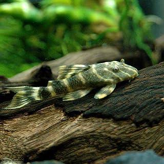 (熱帯魚)タイガープレコ(1匹) 本州・四国限定[生体]