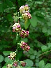 25 FRINGECUP Tellima Grandiflora Odorata Bigflower Fringe Cup Pink Flower Seeds