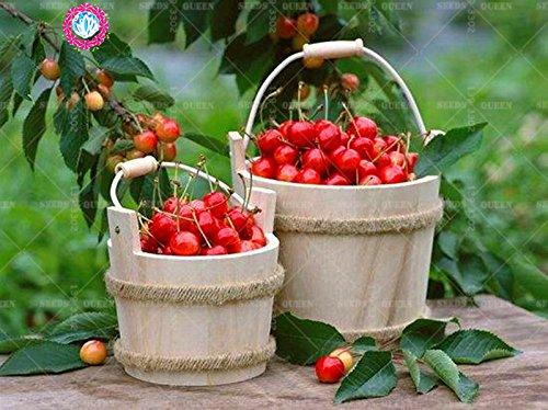 11.11 grande promotion! 20 pcs/lot de graines géantes rouges cerise fraise fruit vert jardin semences d'arbres et la maison plante vivace d'herbes biologiques