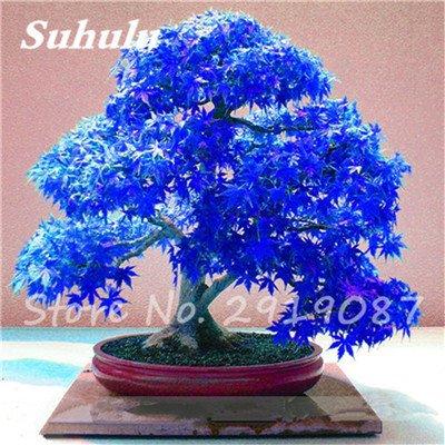 Verlust Förderung. 50PCS echtes Japanisches blau Ahorn Samen Balkon Bonsai Pflanzen für Home Garten Air Reinigung Show In Picture 1