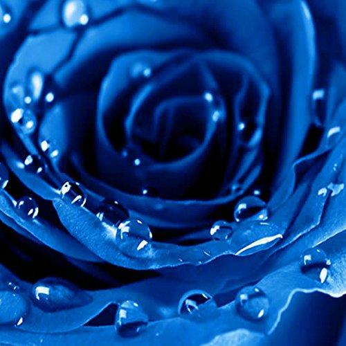Rosepoem Semillas de plantas de rosas azules raras Semillas de flores
