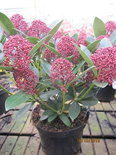 Skimmia japonica Red Dwarf - Japanische Blütenskimmie Red Dwarf