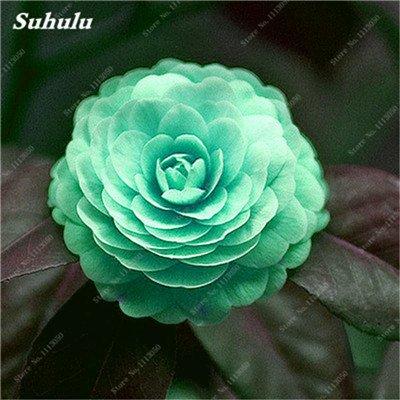 Grosses soldes! 10 Pcs Camellia Graines, Graines Bonsai Fleur, couleur rare, bonsaïs d'intérieur / extérieur Plante en pot pour jardin Facile à cultiver 9