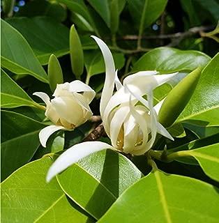michelia champaca alba tree