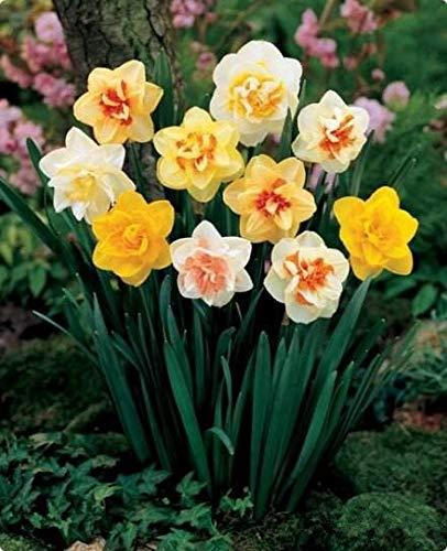 100 Teile/paket Narzissen Samen (Nicht Narzissen Zwiebeln) Bonsai Blumensamen Wasserpflanzen Doppel Blütenblätter Narzisse Hausgarten Pflanze