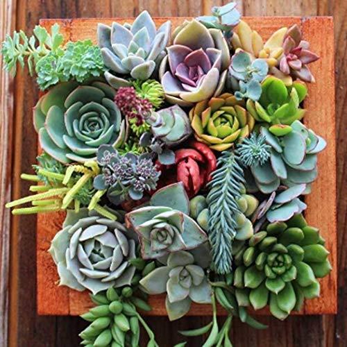 Katem 50 Pezzi Semi perenni bonsai semi di piante succulente bonsai perenni Cactus e piante grasse