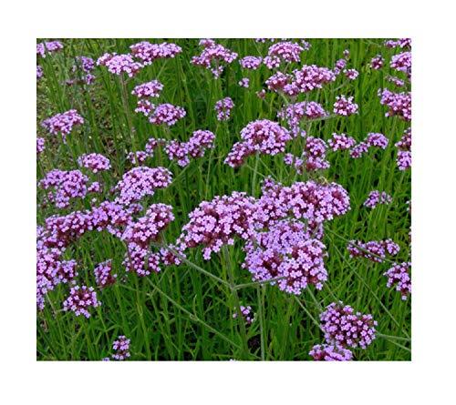 Stk - 1x Eisenkraut Verbena Bonariensis - Topf Garten Pflanzen K-P289 - Seeds Plants Shop Samenbank Pfullingen Patrik Ipsa