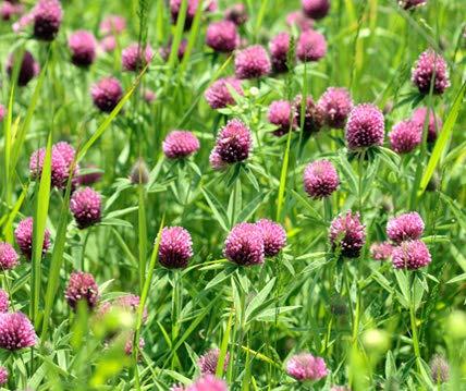 Rotklee Bodenkur von bobby-seeds, staudige Gründüngung/Futterpflanze Portion 500 Gramm