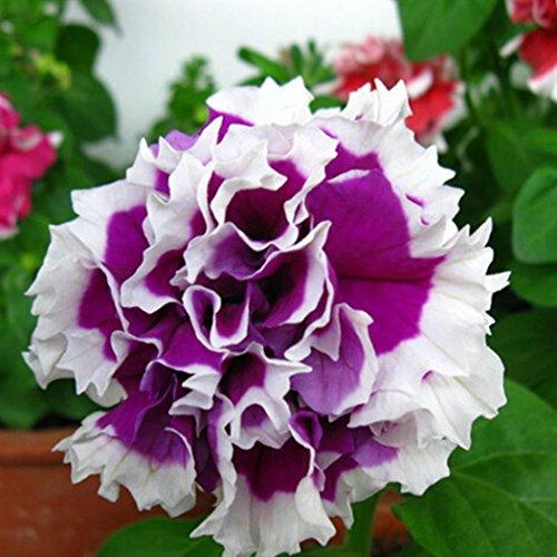 Qulista Samenhaus - 20pcs Japan Selten Freiland-Hortensie 'Miss Saori®' Bauernhortensie Blumensamen winterhart mehrjährig für Kübel/Terrasse/Balkon