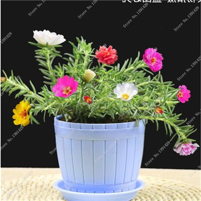 Graine coloré Portulaca, rose moussue Graine pourpier Double Flower Heat Tolerant, facile Semer des graines de fleurs d'extérieur 100 pièces / lot 6
