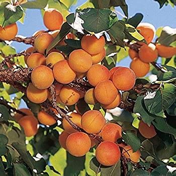 Alick 15 Manchurian Apricot Tree Seeds