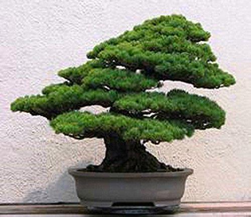 20seeds / sac coréenne Fir, Abies koreana bonsaï fleur de semences bricolage maison jardin