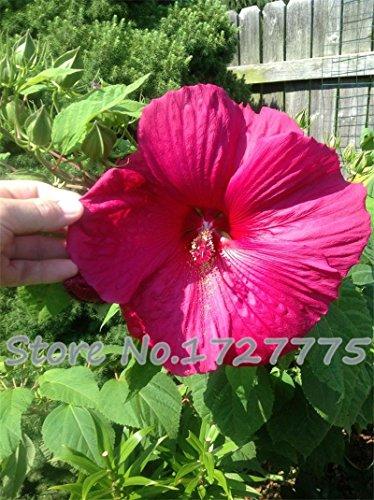 100 géant Fleur d'hibiscus Graines Hardy, mélange Couleur, DIY Home Garden en pot ou cour Fleur Plante,, violet, As Show in Description