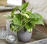 Plant Theory 40cm Devil's Ivy Golden Pothos Scindapsus Indoor House Plant 13cm Pot (No Ceramic Pot)