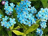 100 piezas Woodland No me olvides Myosotis Semillas Sylvatica Perennes Bonsai Flores semillas de plantas de interior La flor del amor