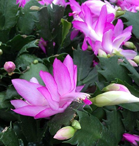 "Pink Christmas Cactus Plant - Zygocactus - 4"" Pot"